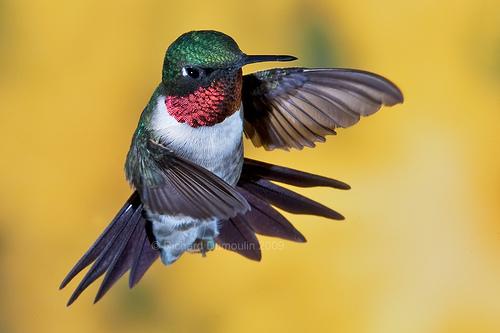 pasarea colibri cu gat rosu