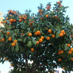 Mandarin Veritabil