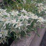 Lavaredo Ultra Trail 2017 _ Floare de colt